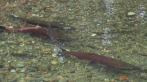 Coho in Ennis Creek (Photo by Bill and Betty Connor)