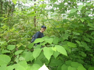 lost in a knotweed patch along the Sauk River