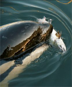 Young orca feeding on salmon ( (c) NOAA, Lynne Barre)